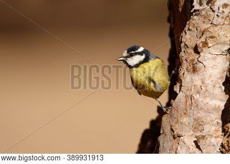 Tenerife Blue Tit - Cyanistes Teneriffae Species Of Bird In Family Paridae, Found In Northern Africa