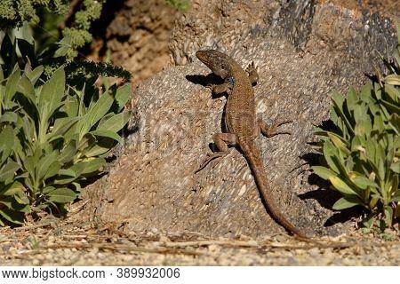 Gallotia Galloti - Gallots Lizard, Tenerife Lizard Or Western Canaries Lizard Is A Species Of Lacert