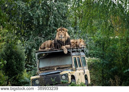 Overloon, The Netherlands - October 10, 2020:two Lions Sleeping And Resting In The Shade On The Roof