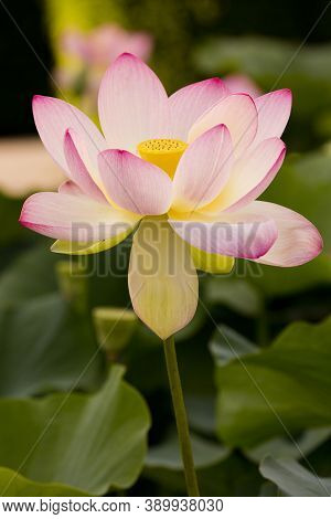 The Lotus Flower (nelumbo Nucifera) In The Botanical Garden.