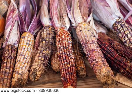Colorful Indian Corn Dried On The Cob
