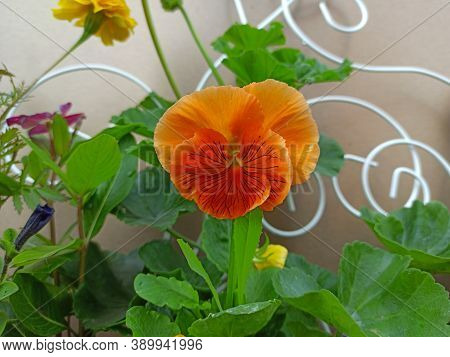 Orange Viola Flower Close Up. Viola Flower In A Pot For Decorating The Terrace Of The House. Small O