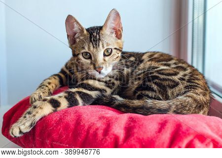 Cute Bengal Kitty Cat Laying On The Red Pillow On Windowsill And Relaxing.