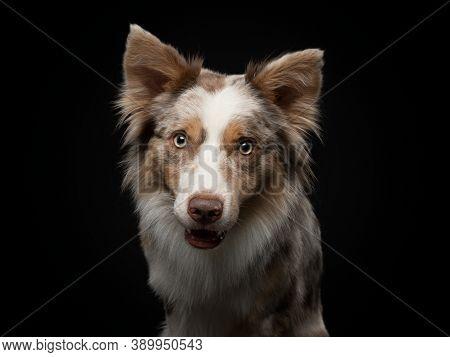 Border Collie Funny Portrait. Charming Dog In Studio On Black Background.