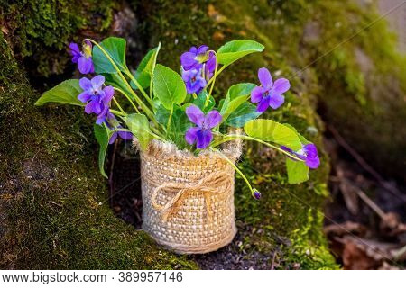 Violets In A Burlap Pot In The Woods Near A Tree, A Bouquet Of Violets