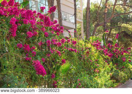 Tall Bougainvillea Shrub. Flowering Shrub, Hedge. Summer Tropical Bougainvillea Shrubs In Bloom. Vib