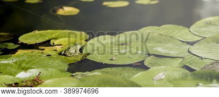Banner A Frog Resting On A Lotus Leaf