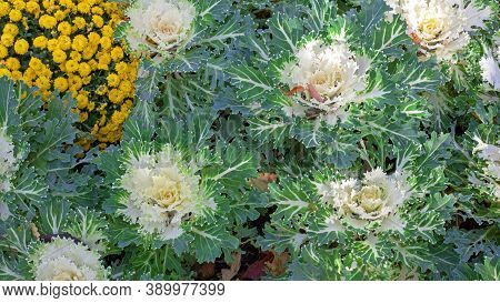 Flowering Cabbage Brassica Peacock White. Ornamental Kale. Top View