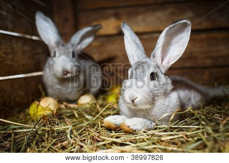Young rabbits in a hutch (European Rabbit - Oryctolagus cuniculus)