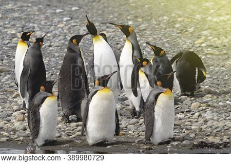 A Colony Of Penguins In Antarctica, Beautiful Penguins Going To The Water, Penguins Gathered Near Th