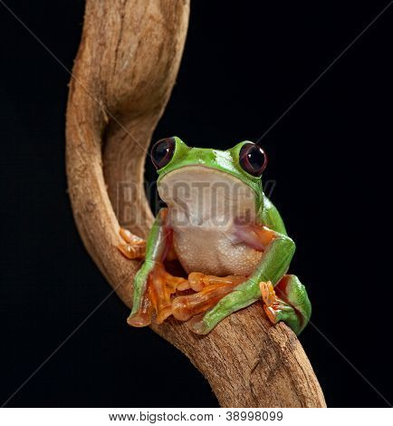 treefrog Agalychnis spurrelli or the flying tree frog of the Amazon rain forest lives in Costa Rica Panama Ecuador and Colombia beautiful nocturnal amphibian of the tropical jungle