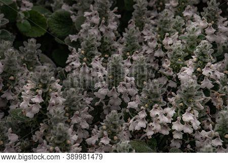 Wild Thyme Glade Leaves (thymus Vulgar) Full Bloom Grown In A Botanic Garden.