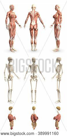 9 Hi-res Renders In 1, Womans Body With Muscle Map And Skeleton And Organs - Physiology Examination