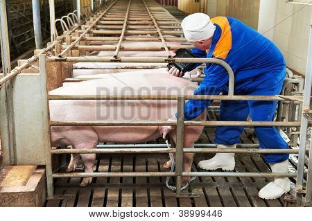 Pig ultrasound diagnosis after artificial insemination fertilization at agriculture reproduction farm