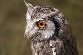 Close up of Eagle Owl in the wild poster