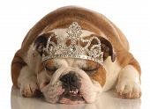 english bulldog wearing princess crown or tiara isolated on white background poster