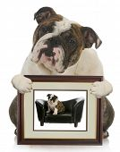 young puppy grown dog - english bulldog holding picture of itself when it was a puppy poster