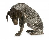 bad dog - guilty looking german short haired pointer sitting with reflection on white background poster
