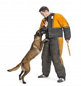 Belgian Shepherd attacking the arm of a trainer wearing a body bite suit against white background poster
