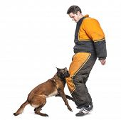 Belgian Shepherd attacking the leg of a trainer wearing a body bite suit against white background poster