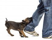 Belgian shepherd puppy biting leg against white background poster