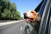 a funny basset hound with her head out of a car window and tongue out poster