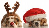 english bulldog - one dressed up as santa the other as poster