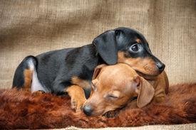 Miniature Pinscher Puppies