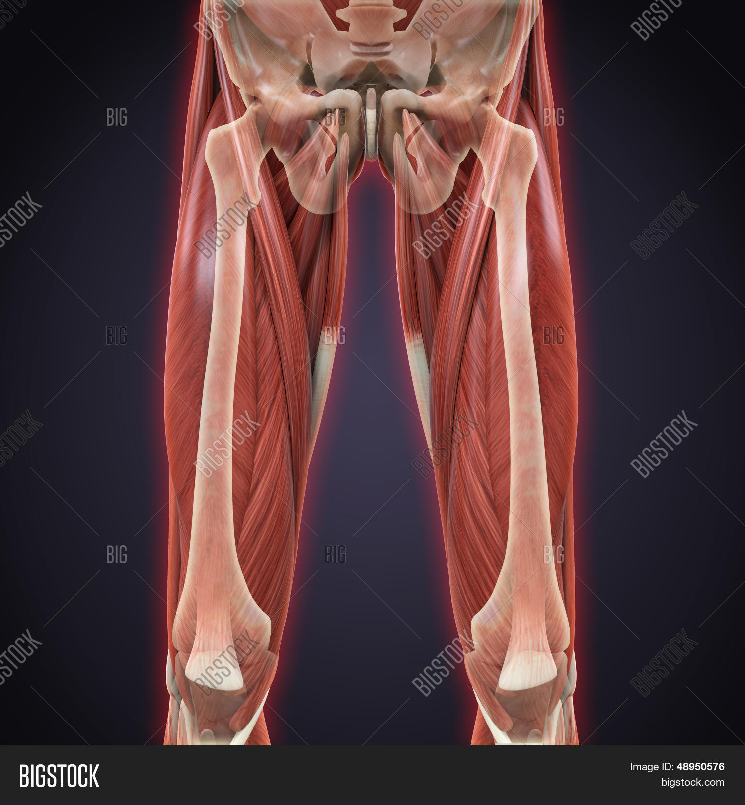 Upper Legs Muscles Anatomy Image & Photo | Bigstock
