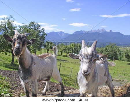 Goats And Alps