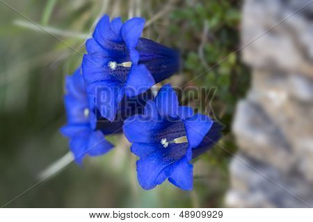 Gentiana clusii flowers or blue gentian in the German alps poster
