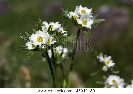Anemone narcissiflora flowers