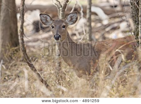 White tailed deer standing in the woods poster