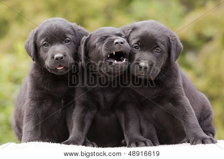 Three cute black funny puppies sitting on the ground