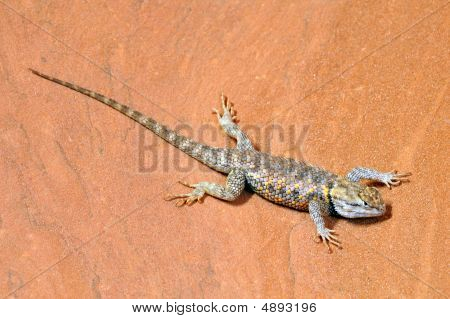 poster of Desert Spiny Lizard (Sceloporus Magister) on sandstone in the southwest USA.