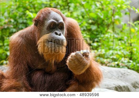 Portrait of adult orangutan (Pongo pygmaeus)