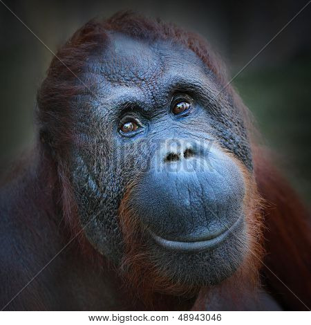 Happy smile of The Bornean orangutan (Pongo pygmaeus).