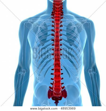Anatomy Of Human Spine In X-ray View