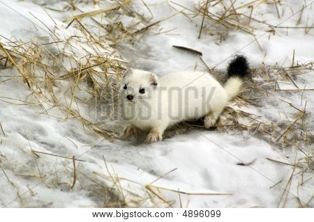 East Siberian Ermine In The Winter.