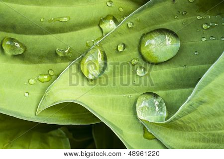 Water Drops On A Green Folio