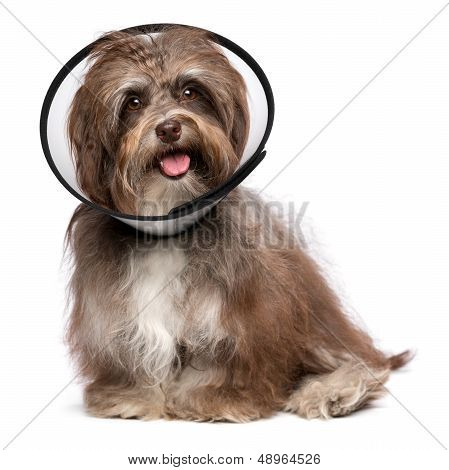 Sick and happy chocolate havanese dog with a funnel collar will be healthy soon again isolated on white poster