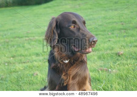 Flat coated-retriever dog