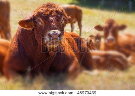 Bull - Cattle