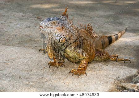 An iguana walks freely in the wild terrain of Roatan Honduras