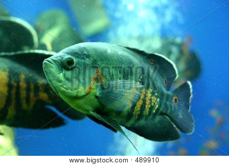 Seargent Fish In Aquarium