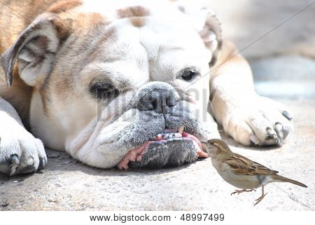 english bulldog with sparrow