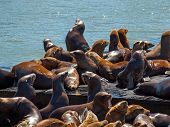 The Sea Lions of Pier 39 in San Francisco California USA poster