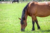 Chestnut horse with black mane grazing in the meadow. Closeup view. Copyspace poster