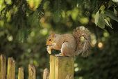 Close up of a grey squirrel eating a nut poster