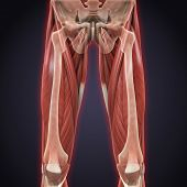 Illustration of Upper Legs Muscles Anatomy. 3D render poster
